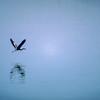 Heron Flying over the Arkansas River