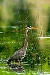 Heron in the Morning