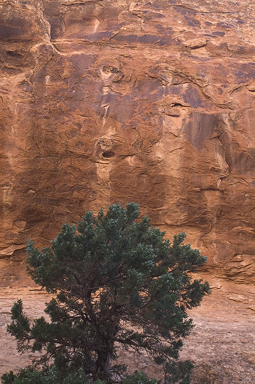 Tree and rock face along the Devil's Garden trail in Arches NP