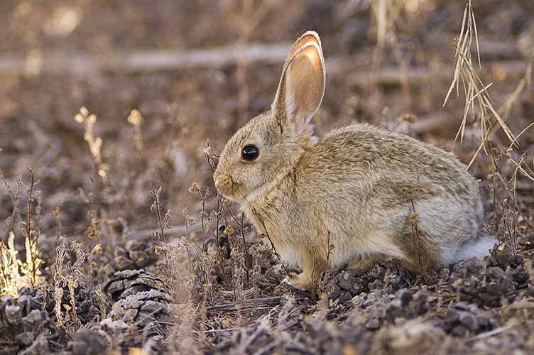 Cottontail near Upheaval Dome