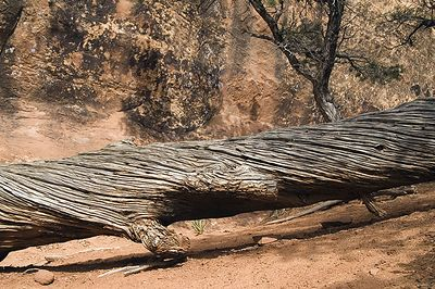 Dead tree and rock face along the Devil's Garden trail in Arches NP