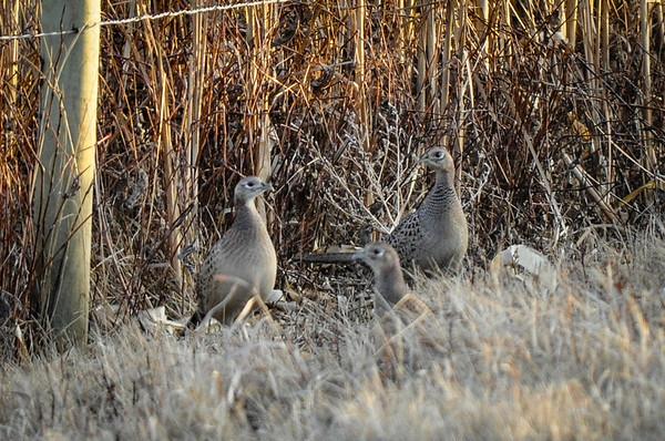 1-2-15 Pheasant Hunt