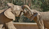 Young male elephants goofing off at San Diego zoo Safari Park...