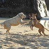 Beach dogs playing on British Virgin Gorda... late afternoon light.