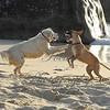 Beach dogs playing on British Virgin Gorda... late afternoon light.