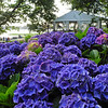 Hydrangeas on Sprite Island, Connecticut.