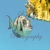 Fish-eye to camera lens... juvenile queen angle fish.