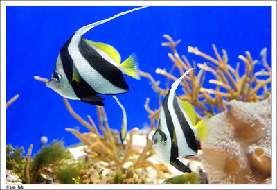 A pair of Black and White Heniochus