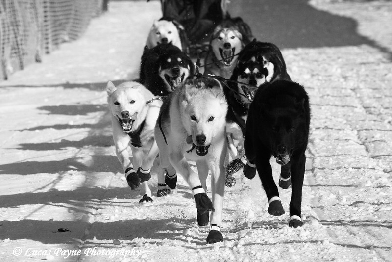 """2nd place winning image in the 2008 John Beargrease Sled Dog Marathon Photo Contest. This image was used on the 2009 John Beargrease Sled Dog Marathon Poster. <a href=""""http://lucaspaynephotography.smugmug.com/gallery/5539261_qq4sn/1/430350598_vfpZ4/Large""""target=""""_blank""""><b>Click here to view the poster.</b></a>"""