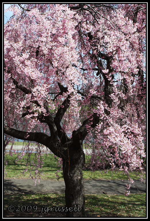 Cherry blossoms at Branch Brook Park