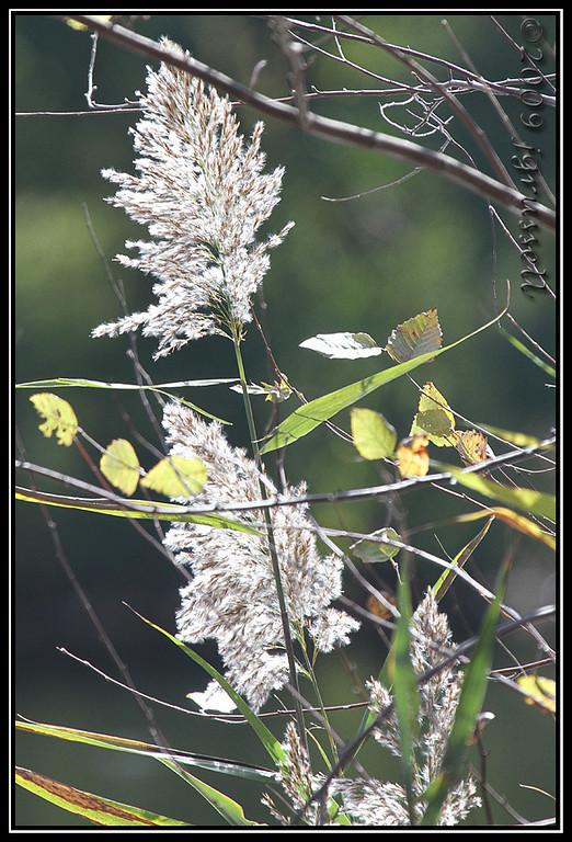 Grasses, Plainsboro Preserve