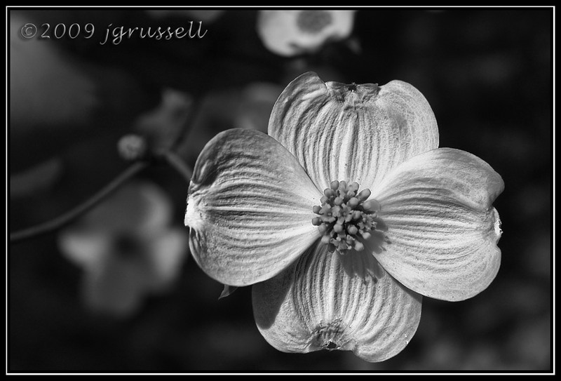 Dogwood in bloom - B&W