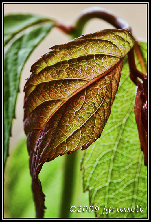 Leaf from a garden bush