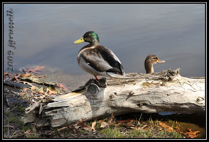 Mallards at Branch Brook Park