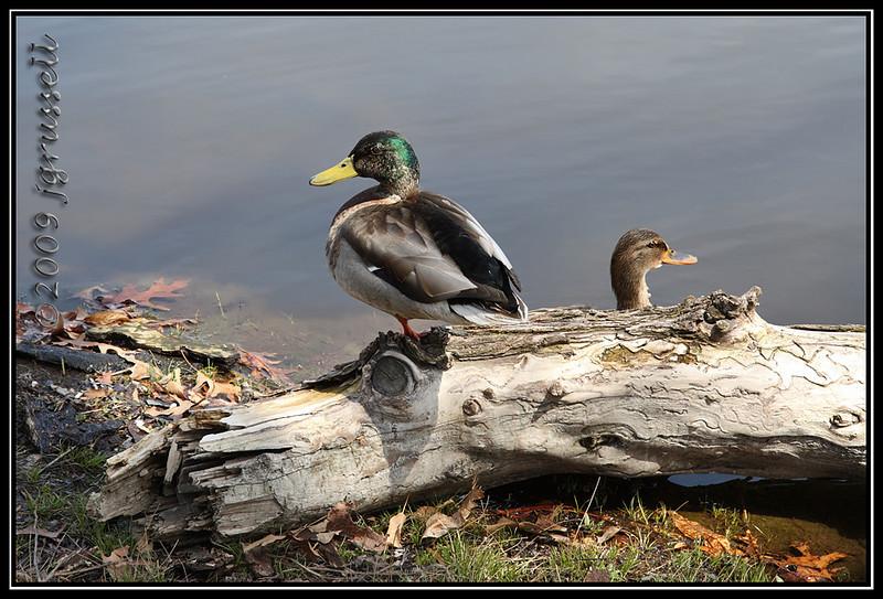 Mallards at Branch Brook Park