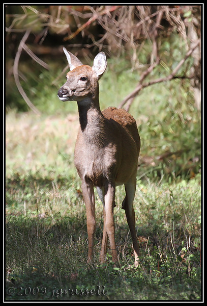White tail doe<br /> Plainsboro Preserve