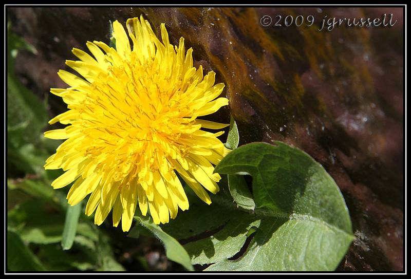 Season's first dandelion, Branch Brook Park