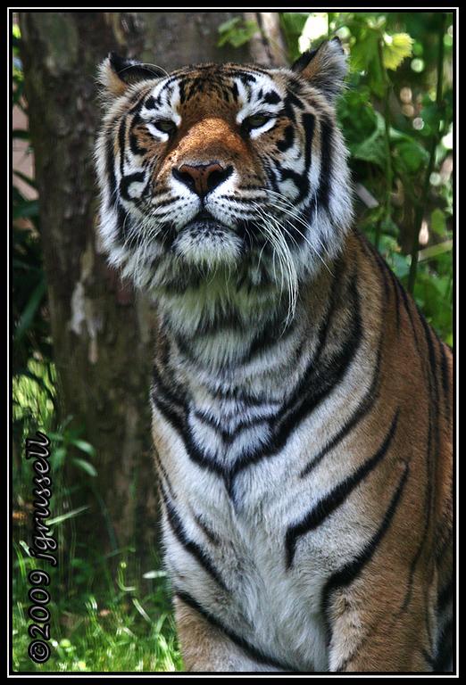 Tiger at Disney's Animal Kingdom