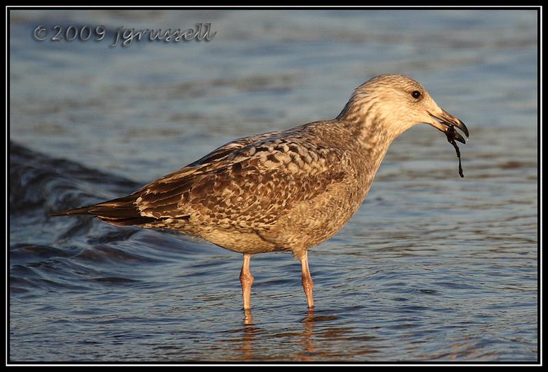 Herring gull (first winter)
