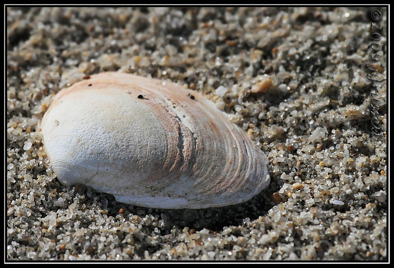 Seashell<br /> Sandy Hook