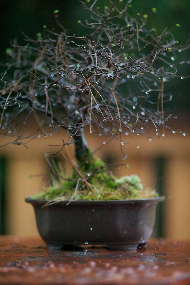Week 17 2010 - Bonsai Rain - 5D2 with OM 180/2