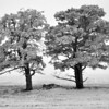 Two frosty trees