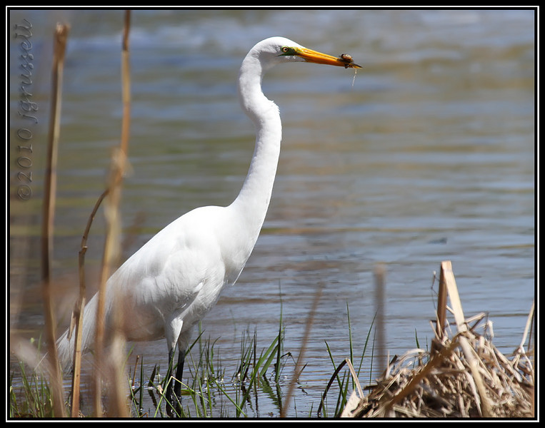 Near the bridge on the road was this Great Egret