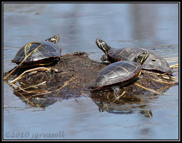 And the 'phibs... turtles...