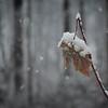 11-26-14: Leaf in snow