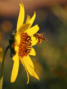 Collecting Pollen - August 24th