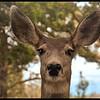 Window peeping mule deer doe.