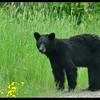Roadside Black Bear