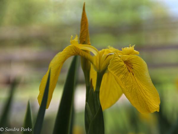 5-18-15: Iris at Wildwood