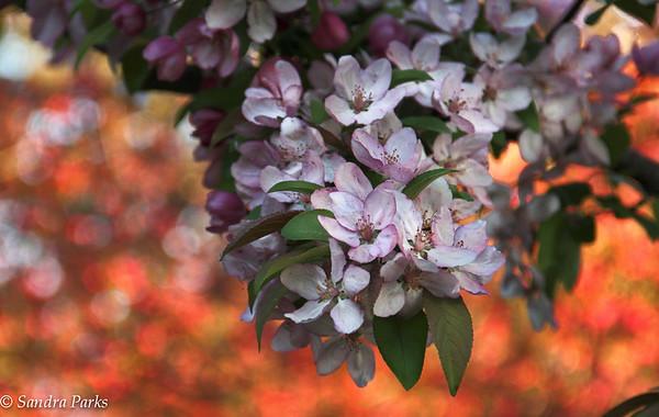4-24-15: cherry blossoms, Bridgeview Park