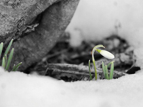 3-03-15: before the next snowdrop falls ...