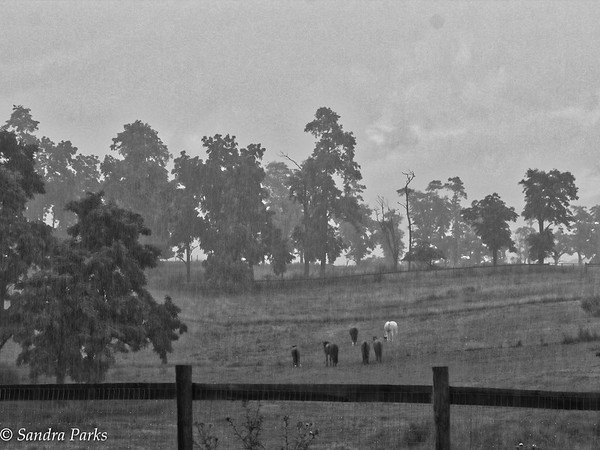 6-27-15: horses in the rain