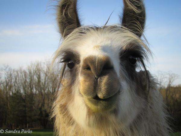 4-24-15: Ridge Road llama, still loveable, green chin, bad breath, and all.