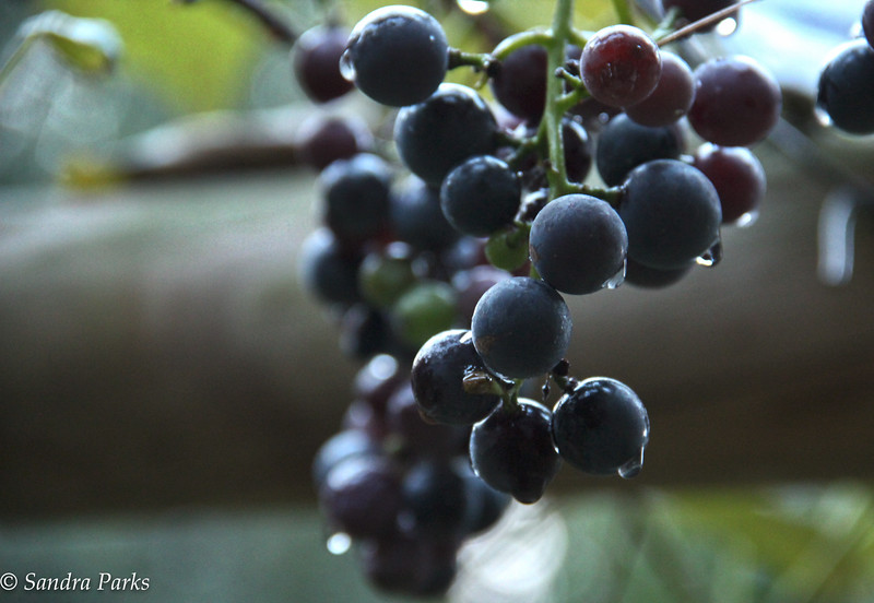 9-4-15: Grapes in the alley