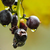 9-26-15: Grapes in the alley