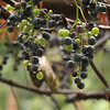9-27-15: Grapes in the alley