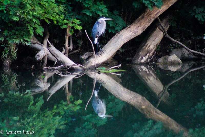 7-22-16: Heron reflections