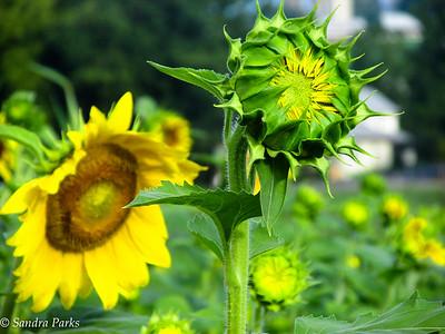 8-18-16: Sunflowers, Fort Harrison
