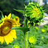 8-18-16: Sunflowers, Fort Harrison