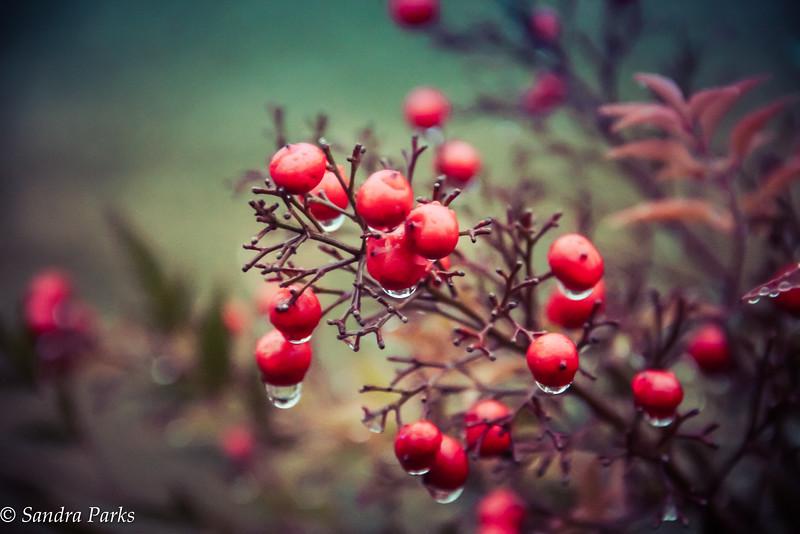 12-6-14: Berries in the rain