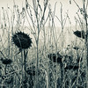 12-4-16: Remnants of sunflowers, Dry River