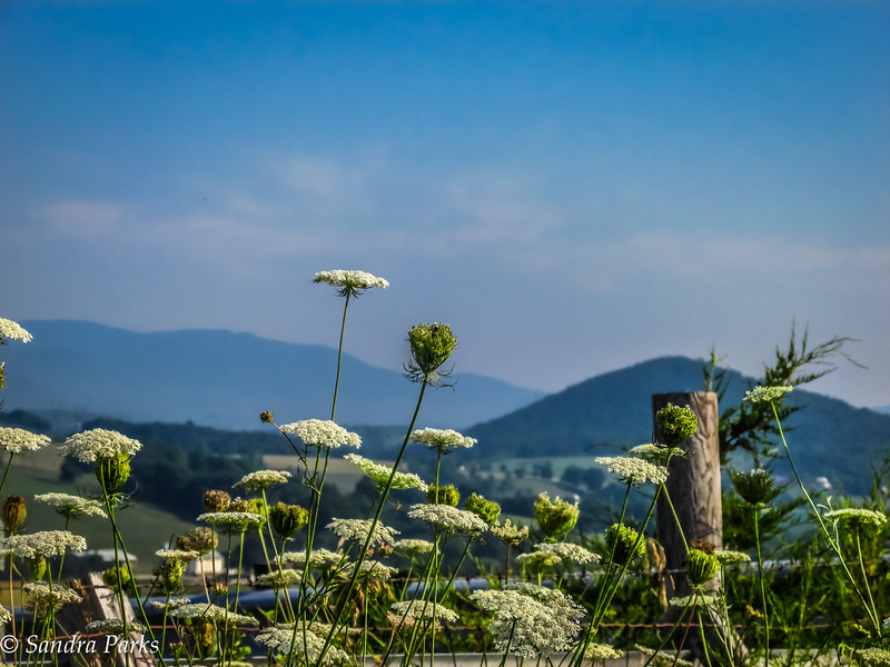 7-25-16: Queen Anne's Lace  in the morning light