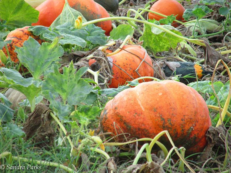 9-20-16: Pumpkin patch, Dry River Road