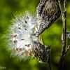 10-23-16: Milkweed