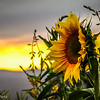 10-4-16:  Sunflowers at sunset.