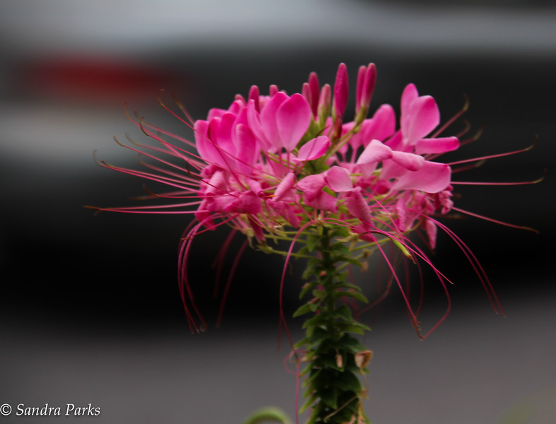9: 27-16: Cleome on Main Street. Because the world needs some beauty right now.